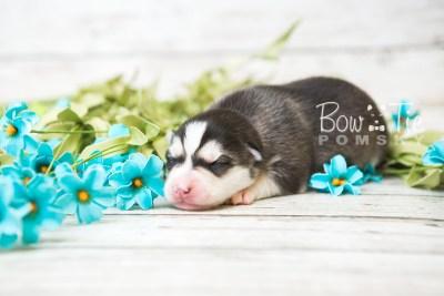puppy57 week1 BowTiePomsky.com Bowtie Pomsky Puppy For Sale Husky Pomeranian Mini Dog Spokane WA Breeder Blue Eyes Pomskies web2