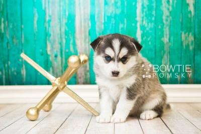puppy57 week5 BowTiePomsky.com Bowtie Pomsky Puppy For Sale Husky Pomeranian Mini Dog Spokane WA Breeder Blue Eyes Pomskies web6