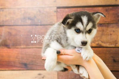 puppy57 week7 BowTiePomsky.com Bowtie Pomsky Puppy For Sale Husky Pomeranian Mini Dog Spokane WA Breeder Blue Eyes Pomskies web3