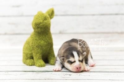puppy58 week1 BowTiePomsky.com Bowtie Pomsky Puppy For Sale Husky Pomeranian Mini Dog Spokane WA Breeder Blue Eyes Pomskies web3