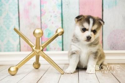 puppy58 week5 BowTiePomsky.com Bowtie Pomsky Puppy For Sale Husky Pomeranian Mini Dog Spokane WA Breeder Blue Eyes Pomskies web2