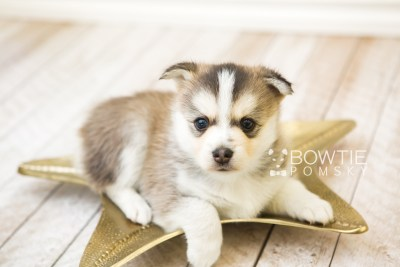 puppy58 week5 BowTiePomsky.com Bowtie Pomsky Puppy For Sale Husky Pomeranian Mini Dog Spokane WA Breeder Blue Eyes Pomskies web3