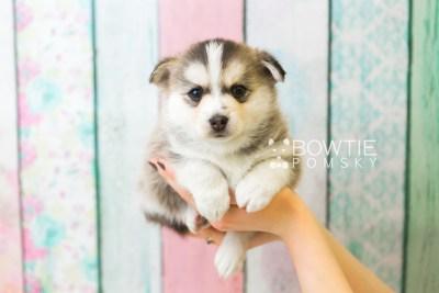 puppy58 week5 BowTiePomsky.com Bowtie Pomsky Puppy For Sale Husky Pomeranian Mini Dog Spokane WA Breeder Blue Eyes Pomskies web4