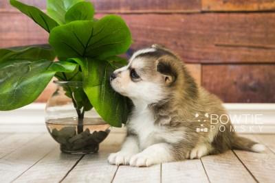 puppy58 week5 BowTiePomsky.com Bowtie Pomsky Puppy For Sale Husky Pomeranian Mini Dog Spokane WA Breeder Blue Eyes Pomskies web5
