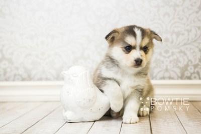 puppy58 week5 BowTiePomsky.com Bowtie Pomsky Puppy For Sale Husky Pomeranian Mini Dog Spokane WA Breeder Blue Eyes Pomskies web6