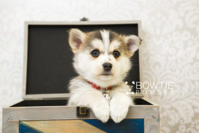 puppy58 week7 BowTiePomsky.com Bowtie Pomsky Puppy For Sale Husky Pomeranian Mini Dog Spokane WA Breeder Blue Eyes Pomskies web1