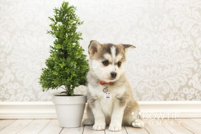 puppy58 week7 BowTiePomsky.com Bowtie Pomsky Puppy For Sale Husky Pomeranian Mini Dog Spokane WA Breeder Blue Eyes Pomskies web2