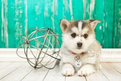 puppy58 week7 BowTiePomsky.com Bowtie Pomsky Puppy For Sale Husky Pomeranian Mini Dog Spokane WA Breeder Blue Eyes Pomskies web5