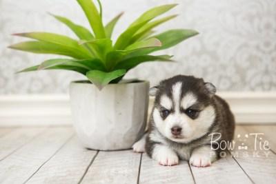 puppy59 week3 BowTiePomsky.com Bowtie Pomsky Puppy For Sale Husky Pomeranian Mini Dog Spokane WA Breeder Blue Eyes Pomskies web6