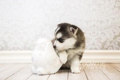 puppy59 week5 BowTiePomsky.com Bowtie Pomsky Puppy For Sale Husky Pomeranian Mini Dog Spokane WA Breeder Blue Eyes Pomskies web5