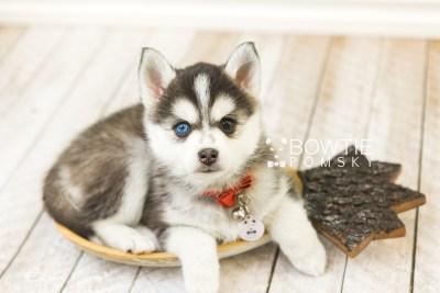 puppy59 week7 BowTiePomsky.com Bowtie Pomsky Puppy For Sale Husky Pomeranian Mini Dog Spokane WA Breeder Blue Eyes Pomskies web1