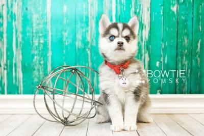 puppy59 week7 BowTiePomsky.com Bowtie Pomsky Puppy For Sale Husky Pomeranian Mini Dog Spokane WA Breeder Blue Eyes Pomskies web2