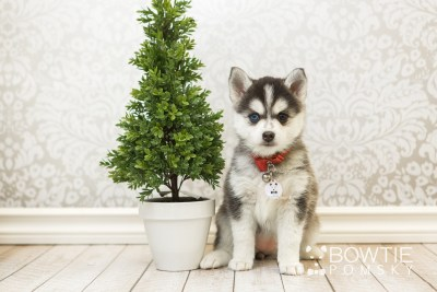 puppy59 week7 BowTiePomsky.com Bowtie Pomsky Puppy For Sale Husky Pomeranian Mini Dog Spokane WA Breeder Blue Eyes Pomskies web5