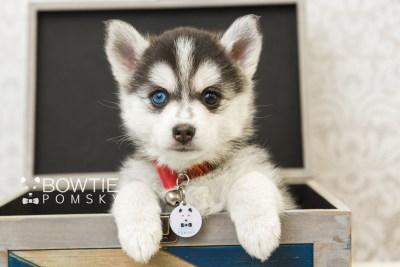 puppy59 week7 BowTiePomsky.com Bowtie Pomsky Puppy For Sale Husky Pomeranian Mini Dog Spokane WA Breeder Blue Eyes Pomskies web6