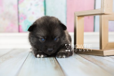 puppy60 week3 BowTiePomsky.com Bowtie Pomsky Puppy For Sale Husky Pomeranian Mini Dog Spokane WA Breeder Blue Eyes Pomskies web3