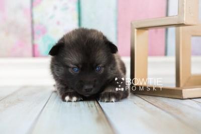puppy60 week3 BowTiePomsky.com Bowtie Pomsky Puppy For Sale Husky Pomeranian Mini Dog Spokane WA Breeder Blue Eyes Pomskies web3