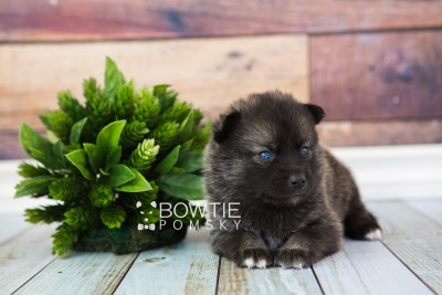puppy60 week3 BowTiePomsky.com Bowtie Pomsky Puppy For Sale Husky Pomeranian Mini Dog Spokane WA Breeder Blue Eyes Pomskies web5