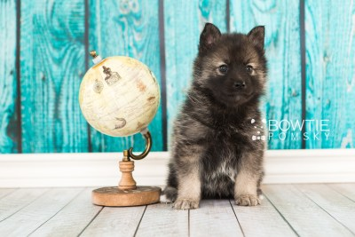 puppy60 week5 BowTiePomsky.com Bowtie Pomsky Puppy For Sale Husky Pomeranian Mini Dog Spokane WA Breeder Blue Eyes Pomskies web4