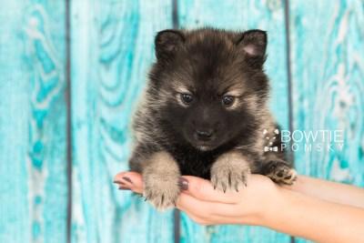 puppy60 week5 BowTiePomsky.com Bowtie Pomsky Puppy For Sale Husky Pomeranian Mini Dog Spokane WA Breeder Blue Eyes Pomskies web5