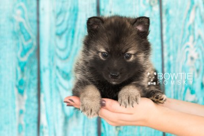 puppy60 week5 BowTiePomsky.com Bowtie Pomsky Puppy For Sale Husky Pomeranian Mini Dog Spokane WA Breeder Blue Eyes Pomskies web5