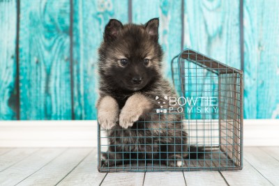 puppy60 week5 BowTiePomsky.com Bowtie Pomsky Puppy For Sale Husky Pomeranian Mini Dog Spokane WA Breeder Blue Eyes Pomskies web6