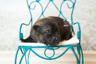 puppy61 week1 BowTiePomsky.com Bowtie Pomsky Puppy For Sale Husky Pomeranian Mini Dog Spokane WA Breeder Blue Eyes Pomskies web3