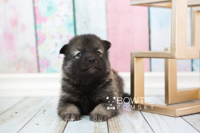 puppy61 week3 BowTiePomsky.com Bowtie Pomsky Puppy For Sale Husky Pomeranian Mini Dog Spokane WA Breeder Blue Eyes Pomskies web4
