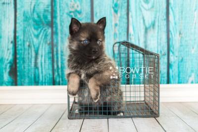puppy61 week5 BowTiePomsky.com Bowtie Pomsky Puppy For Sale Husky Pomeranian Mini Dog Spokane WA Breeder Blue Eyes Pomskies web2