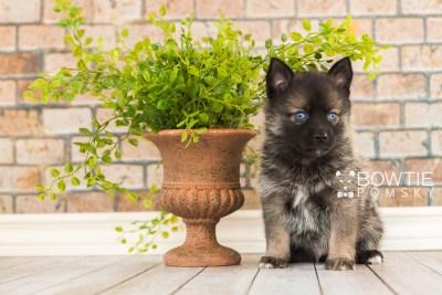 puppy61 week5 BowTiePomsky.com Bowtie Pomsky Puppy For Sale Husky Pomeranian Mini Dog Spokane WA Breeder Blue Eyes Pomskies web4
