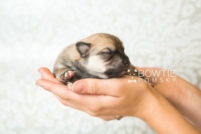 puppy62 week1 BowTiePomsky.com Bowtie Pomsky Puppy For Sale Husky Pomeranian Mini Dog Spokane WA Breeder Blue Eyes Pomskies web1