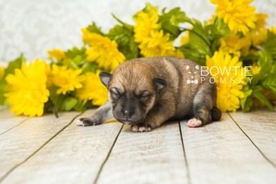 puppy62 week1 BowTiePomsky.com Bowtie Pomsky Puppy For Sale Husky Pomeranian Mini Dog Spokane WA Breeder Blue Eyes Pomskies web3