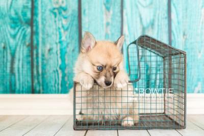 puppy62 week5 BowTiePomsky.com Bowtie Pomsky Puppy For Sale Husky Pomeranian Mini Dog Spokane WA Breeder Blue Eyes Pomskies web4