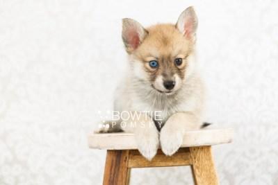 puppy62 week7 BowTiePomsky.com Bowtie Pomsky Puppy For Sale Husky Pomeranian Mini Dog Spokane WA Breeder Blue Eyes Pomskies web4