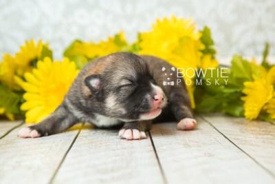 puppy63 week1 BowTiePomsky.com Bowtie Pomsky Puppy For Sale Husky Pomeranian Mini Dog Spokane WA Breeder Blue Eyes Pomskies web2