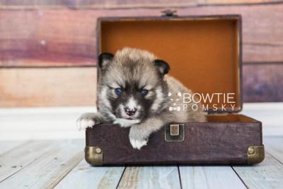 puppy63 week3 BowTiePomsky.com Bowtie Pomsky Puppy For Sale Husky Pomeranian Mini Dog Spokane WA Breeder Blue Eyes Pomskies web2