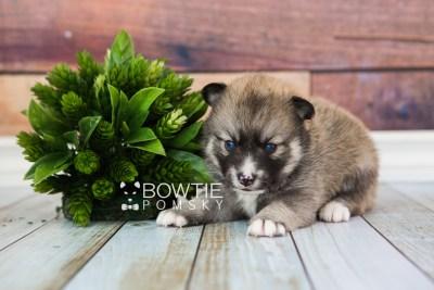 puppy63 week3 BowTiePomsky.com Bowtie Pomsky Puppy For Sale Husky Pomeranian Mini Dog Spokane WA Breeder Blue Eyes Pomskies web3