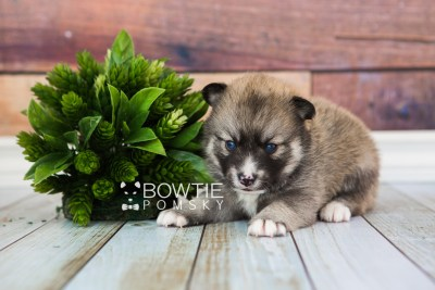 puppy63 week3 BowTiePomsky.com Bowtie Pomsky Puppy For Sale Husky Pomeranian Mini Dog Spokane WA Breeder Blue Eyes Pomskies web3