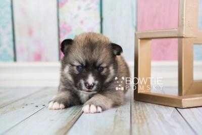 puppy63 week3 BowTiePomsky.com Bowtie Pomsky Puppy For Sale Husky Pomeranian Mini Dog Spokane WA Breeder Blue Eyes Pomskies web4