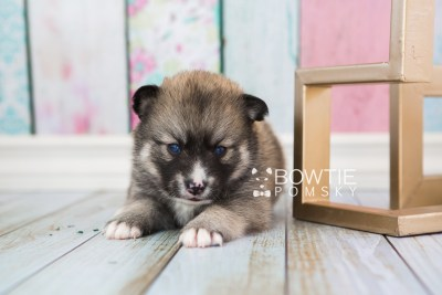 puppy63 week3 BowTiePomsky.com Bowtie Pomsky Puppy For Sale Husky Pomeranian Mini Dog Spokane WA Breeder Blue Eyes Pomskies web4