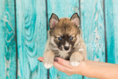 puppy63 week5 BowTiePomsky.com Bowtie Pomsky Puppy For Sale Husky Pomeranian Mini Dog Spokane WA Breeder Blue Eyes Pomskies web1