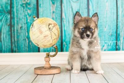 puppy63 week5 BowTiePomsky.com Bowtie Pomsky Puppy For Sale Husky Pomeranian Mini Dog Spokane WA Breeder Blue Eyes Pomskies web3
