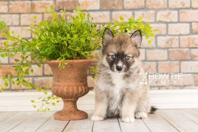 puppy63 week5 BowTiePomsky.com Bowtie Pomsky Puppy For Sale Husky Pomeranian Mini Dog Spokane WA Breeder Blue Eyes Pomskies web4