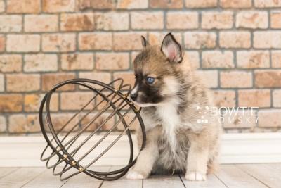 puppy63 week5 BowTiePomsky.com Bowtie Pomsky Puppy For Sale Husky Pomeranian Mini Dog Spokane WA Breeder Blue Eyes Pomskies web5