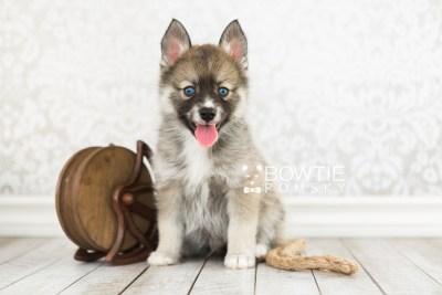 puppy63 week7 BowTiePomsky.com Bowtie Pomsky Puppy For Sale Husky Pomeranian Mini Dog Spokane WA Breeder Blue Eyes Pomskies web1