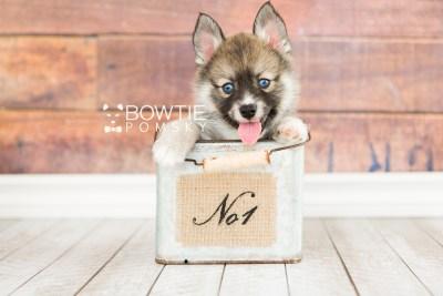 puppy63 week7 BowTiePomsky.com Bowtie Pomsky Puppy For Sale Husky Pomeranian Mini Dog Spokane WA Breeder Blue Eyes Pomskies web6