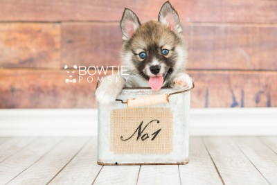 puppy63 week7 BowTiePomsky.com Bowtie Pomsky Puppy For Sale Husky Pomeranian Mini Dog Spokane WA Breeder Blue Eyes Pomskies web6