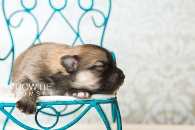 puppy64 week1 BowTiePomsky.com Bowtie Pomsky Puppy For Sale Husky Pomeranian Mini Dog Spokane WA Breeder Blue Eyes Pomskies web1