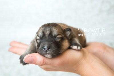 puppy64 week1 BowTiePomsky.com Bowtie Pomsky Puppy For Sale Husky Pomeranian Mini Dog Spokane WA Breeder Blue Eyes Pomskies web6