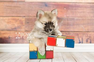 puppy64 week7 BowTiePomsky.com Bowtie Pomsky Puppy For Sale Husky Pomeranian Mini Dog Spokane WA Breeder Blue Eyes Pomskies web3