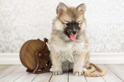 puppy64 week7 BowTiePomsky.com Bowtie Pomsky Puppy For Sale Husky Pomeranian Mini Dog Spokane WA Breeder Blue Eyes Pomskies web5